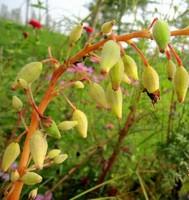 凤仙花图片果实