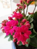 玫红色长寿花图片