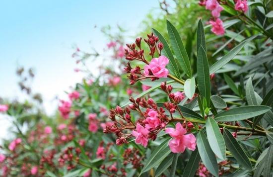 夹竹桃有毒,为什么城市绿化还要种植
