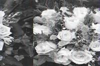 白色玫瑰花语是什么意思,适合送什么