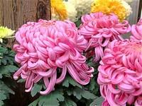 秋菊花图片