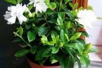 大叶栀子花的养殖方法和注意事项,6