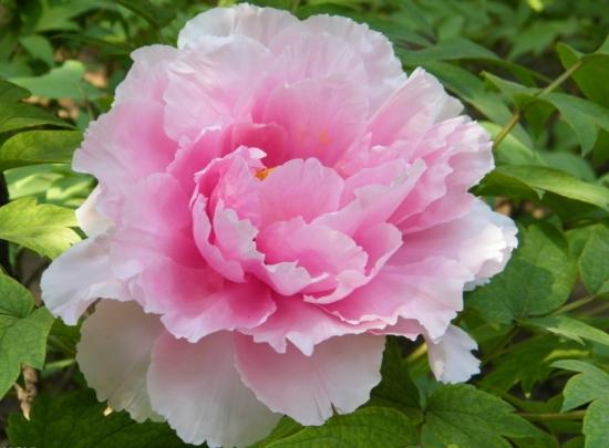 牡丹花名贵品种及图片:十大名贵品种