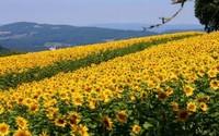 向日葵什么时候开花,向日葵花期多久