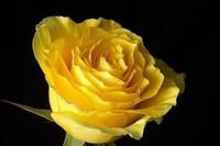 黄色玫瑰花语是什么,适合送给哪些人