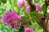紫薇树藤栽院子里好吗,可增加风水带