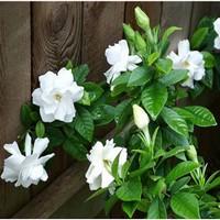栀子花盆栽图片