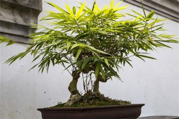 盆栽竹子怕冻吗,不怕且很耐寒