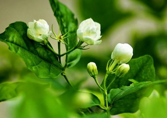 茉莉花的移栽技巧:茉莉苗木上盆要特别注意其根系