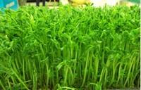 豌豆苗种植,还可以无土栽培