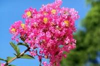 紫薇花有哪些品种,紫薇/赤薇/银薇/