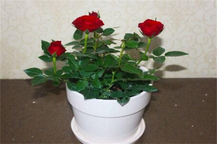 玫瑰月季蔷薇花怎么区别,4个要点轻