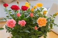 变色玫瑰怎么养殖方法,充足光照日常