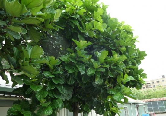 琴叶榕的养殖方法及注意事项:喜欢明