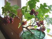 葡萄种子种植的方法:播种前需要进行催熟处理