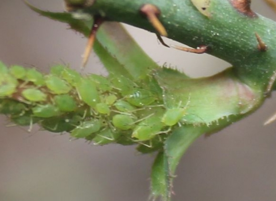月季花常见的病虫害:蚜虫、白粉病、红蜘蛛等