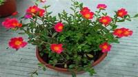 太阳花种子种植方法