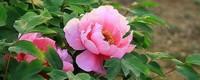 牡丹花花语