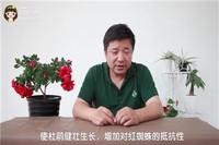杜鹃花虫害及防治方法