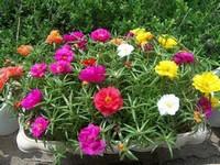 太阳花种子图片