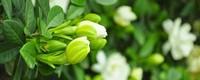 水培栀子花的养殖方法及注意事项
