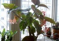 竹节海棠怎么修剪,4大要点修剪出美丽竹节海棠盆景