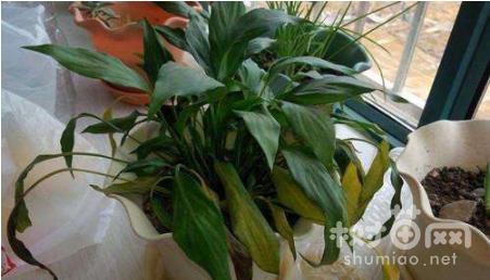 水培白掌叶子发黄怎么办,常见的7种