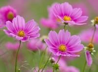波斯菊种子怎么种:想在夏季开花,应