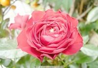 玫瑰花戴露水图片大全
