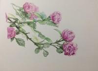 手绘彩铅蔷薇花图片大全