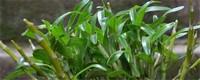 金钗石斛的种植方法