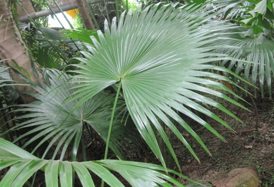 棕榈的养殖方法:喜温暖、湿润和阳光充足,忌暴晒