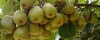 猕猴桃有几种