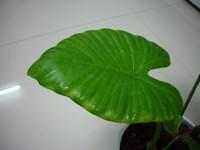 滴水观音的叶子发黄:叶子发黄的原因及处理方法