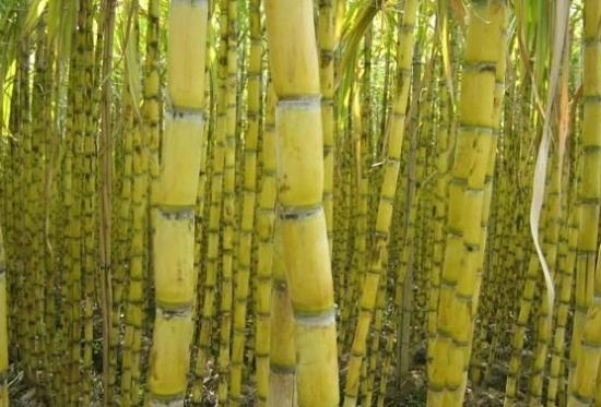 甘蔗什么时候成熟:甘蔗一般是在10月份左右成熟,一直到第二年的三四月份都可以吃到