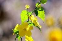 迎春花什么颜色,相似的花有哪些