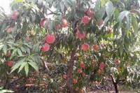 桃树涝了怎么办,挖沟排水强根施叶面肥