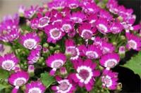 瓜叶菊花期长吗,花期大概在1~4月