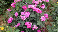 玫瑰怎么繁殖