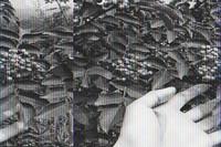 花椒树移栽注意事项