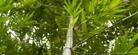竹子常绿树还是落叶树