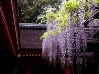 紫藤的种植方法:播种、扦插在3月份上旬萌芽前进行