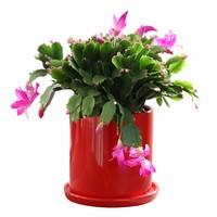 盆栽蟹爪兰花图片