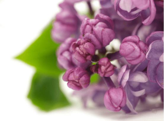 丁香花的花语是什么?送别人丁香花