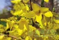 [连翘花期]连翘什么时候开花√植物花期√植物百科