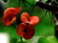 铁海棠图片
