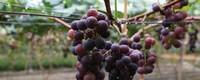 葡萄是什么季节成熟