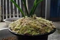 木屑养花全死的原因,添加过多腐烂根须导致