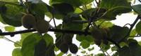 猕猴桃产地