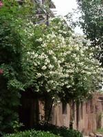 红色木香花图片
